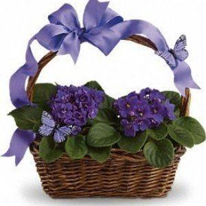 Violets & Butterflies