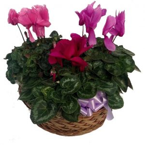 Cyclamen in a basket