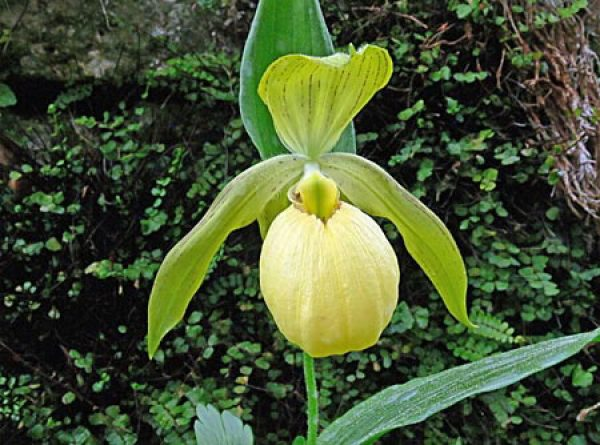 Lady Slipper Orchid Berry Philips