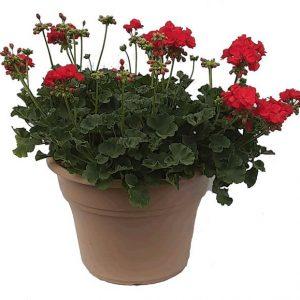 Large Geranium Pot